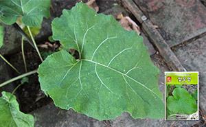 잎우엉 씨앗 (400립)