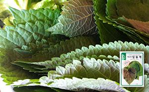 아시아잎들깨 깻잎 씨앗 (10g)