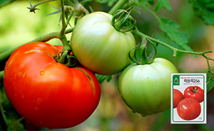 신러브리256 토마토 씨앗 (20립)