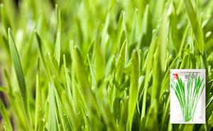 밀싹 새싹 씨앗 (30g)