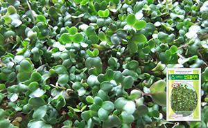 브로콜리 새싹 씨앗 (30g)